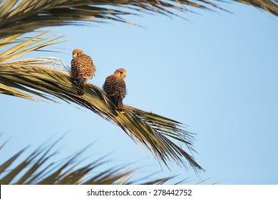 Pair of kestrels on a palm branch