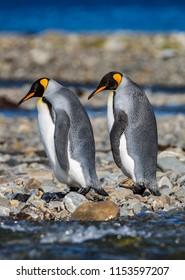 Pair of King penguins in bright breeding colors, walking left