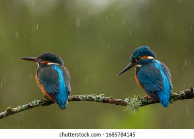 a pair of kingfishers perched on a twig