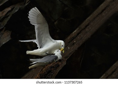 Pair of Kittiwake