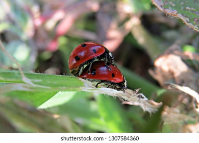 Pair of ladybird beetles mating on a stem with plants bokeh (seven-spotted ladybugs, C-7, Coccinellidae, Coccinella septempunctata)