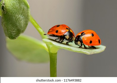 Pair of ladybugs on the leaves