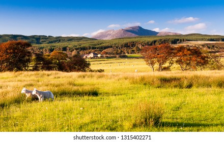 A pair of lambs graze on pastures on Machrie Moor, with a backdrop of forests and Goatfell Mountain, on Scotland's Isle of Arran.