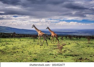A pair of large Masai Giraffes cross the savanna. Serengeti National Park, Tanzania