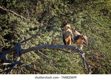 Pair of large raptors, Tawny eagle, Aquila rapax, in mating period, female is calling male, perched on branch.