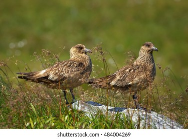 Pair of  large seabirds, Great Skua, Catharacta skua, highly territorial birds close to their nest in typical environment of coastal moorland in Northern Europe. Summer, Norway.