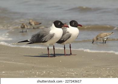 Pair of Laughing Gulls (Larus atricilla) on the Beach - Cumberland Island National Seashore, Georgia