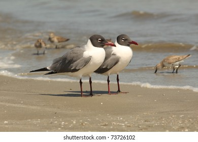 Pair of Laughing Gulls (Larus atricilla) on a beach on Cumberland Island Georgia