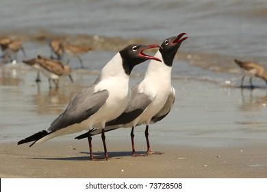 Pair of Laughing Gulls (Larus atricilla) on a beach on Cumberland Island Georgia