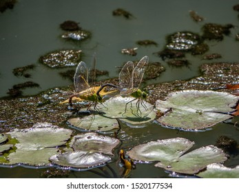 A pair of lesser emperor dragonflies, anax parthenope, mate and lay eggs amongst the weeds in a small pond in a Japanese park.