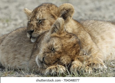 Pair of lion cubs sleeping next to each other