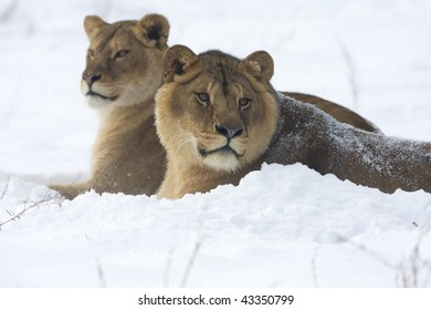 a pair of lion in winter scene