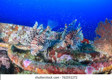 A pair of Lionfish hunting on a deep shipwreck