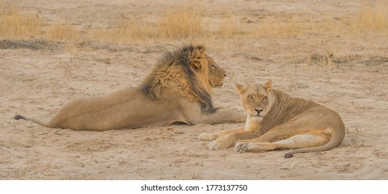 A pair of lions relaxing in the Kgalagadi Transfrontier Park, in the Kalahari Desert in Southern Africa.