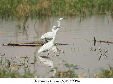 Pair of little egrets egretta garzetta wild bird stood in shallow river water with rural background landscape