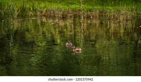 A pair of Little Grebe birds floats in a canal in Amsterdamse Waterleidingduinen, North Holland, the Netherlands. Ripples are seen in the green reflection on the water.