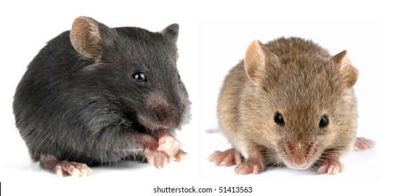 a pair of little mouse