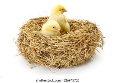 Pair of little newborn yellow chickens in hay nest