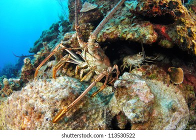 Pair of Lobsters under a ledge