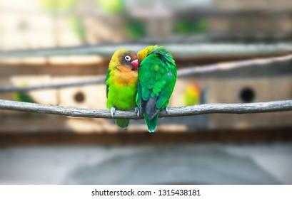 Pair Lovebirds parrots on branch. Colorful Love parrot couple