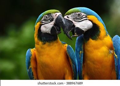 Pair of lovely blue-and-yellow macaw parrot birds (Ara ararauna) known as the blue-and-gold macaw sitting together