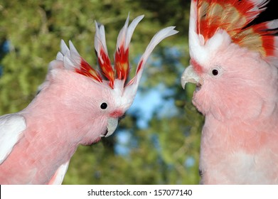 Pair of Major Mitchell's Cockatoos, Cacatua leadbeateri, Australia