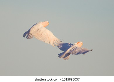 pair of Major Mitchell's or Pink Cockatoo Lophochroa leadbeateri in flight in Eulo, Queensland, Australia