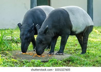 A pair Malayan Tapirs (Tapirus Indicus) also known as Asian Tapir having their food.