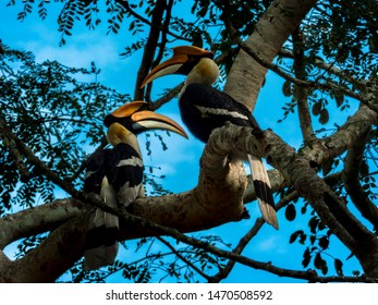 A pair of male and female great hornbill (Buceros bicornis) also known as the great Indian hornbill or great pied hornbill .