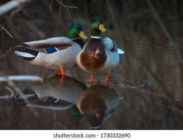 A pair of male mallards perched on a log along the river on a spring day.