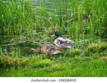 A pair of mallard ducks, male and female on the bank of a grassy pond in city park. beautiful wild nature scenery in green tones. Spring time in Moscow region, Russia, Europe