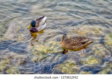 A pair of mallard ducks on lake Zurich