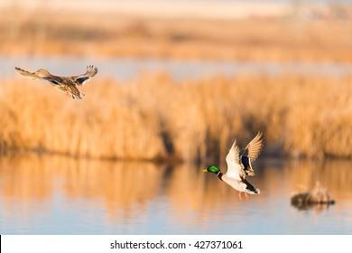 Pair of Mallard Ducks taking flight over a prairie wetland Alberta Canada