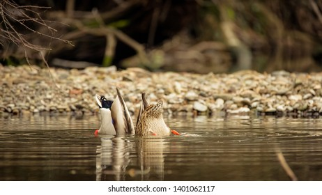 A pair of mallard ducks with their butts in the air as they dive in the water