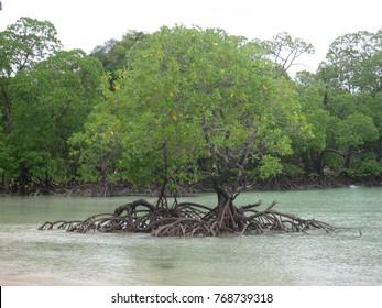 Pair of Mangrove at back side of Surin Island, Phang Nga, Thailand