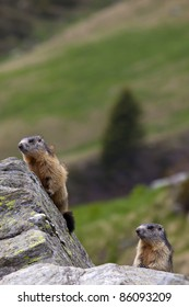 A pair of marmots (Marmota marmota) on a rock in their natural environment.