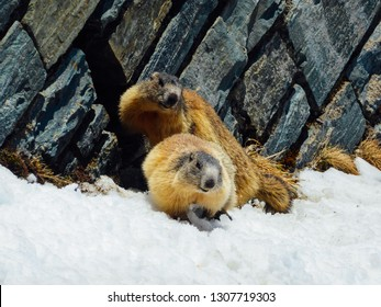 A pair of marmots playing in the snow, Grossglockner Group, High Alpine Road, Austria. Marmots are jumping on the snow, next to the steep rock. It is the beginning of mating season. Love is in the air