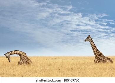 Pair of Masai Giraffe (Giraffa camelopardalis tippelskirchi) resting in grassland of Masai Mara National Reserve, Kenya