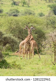"pair of Masai Giraffe (scientific name: Giraffa camelopardalis tippelskirchi or ""Twiga"" in Swaheli) ,Tanzania"