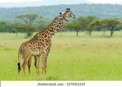"Pair of Masai Giraffe urinating in unison (Giraffa camelopardalis tippelskirchi or ""Twiga"" in Swaheli) image taken on Safari located in the Serengeti National park,Tanzania"