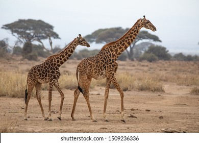 A pair of Masai race Giraffe in the Amboseli National Park