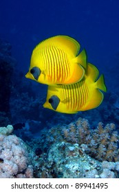 Pair of Masked butterflyfish