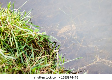 A pair of mating Common Toads (Bufo bufo) in a pond.