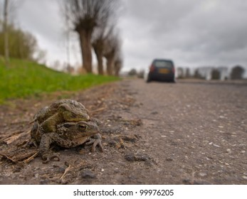 A pair of mating European Toad (Bufo bufo) are about to cross a dangerous road