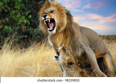 A pair of mating lions in the evening savannah, Masai Mara, Kenya