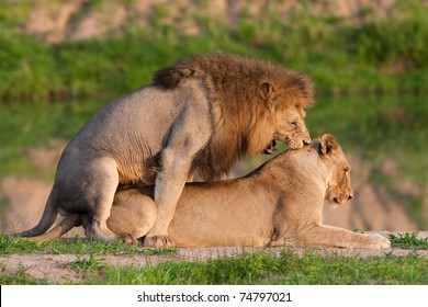 A pair of mating lions in stunning golden light