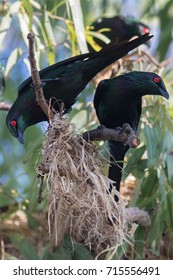 Pair of metallic starlings (Aplonis metallica) with the beginnings of a nest. Metallic starlings migrate from Papua New Guinea to far North Queensland annually to breed.