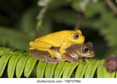 Pair of Minute Treefrogs  (Dendropsophus minutus) in amplexus (mating) above a rainforest pond.  In the Cordillera del Condor, the Ecuadorian Amazon