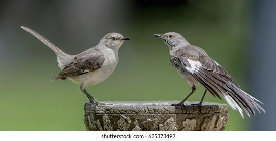 Pair of Mockingbirds on Birdbath