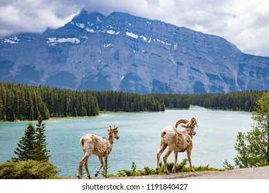 A pair of mountain goats by Two Jake Lake in Banff National Park in Canada